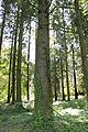 Abies granids trunk 3.JPG
