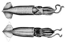 Abralia astrosticta.jpg