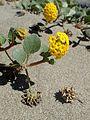 Abronia latifolia kz9.jpg