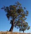 Acacia heterophylla 3.JPG