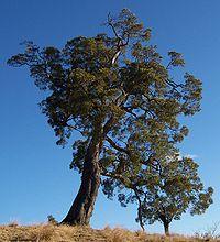 Acacia heterophylla 3