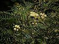 Acacia mearnsii (6363603847).jpg