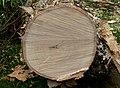 Acacia sieberiana var woodii, hout, Pretoria, a.jpg