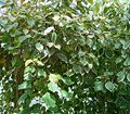 Acalypha wilkesiana2 ies.jpg