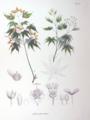 Acer palmatum SZ145.png