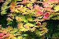 Acer shirasawanum 'Autumn Moon' in Auckland Botanic Gardens 03.jpg