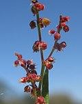 Acetosella vulgaris flower female1 (14561970696).jpg