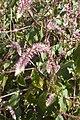 Achyranthes Sicula Chaff weed w Madeira (32504943623).jpg