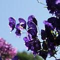 Aconitum sp.-IMG 5583.jpg