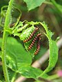 Acraea violae - Tawny Coster caterpillars on the leaves of hostplant Passiflora foetida at Palappuzha (7).jpg