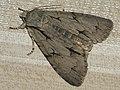 Acronicta tridens - Dark dagger - Стрельчатка трезубец (41053784251).jpg