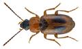 Acupalpus elegans (Dejean, 1829) (22456720439).png