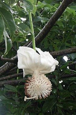 Blomstrende baobab.