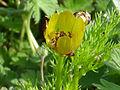 Adonis microcarpa FloryBotonFloral 2011-3-21 CampodeCalatrava.jpg