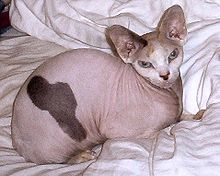 Adult Female Sphynx (Suki).jpg