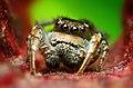 Adult Male Habronattus cognatus Jumping spider.jpg