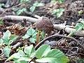 Aegopodium podagria with hazelnut.jpg
