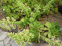 Aeonium canariense - Jardín Botánico Canario