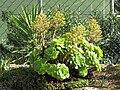 Aeonium canariense Roquebrune.jpg