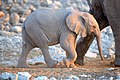 African Elephant Baby Walk2 2019-07-23.jpg