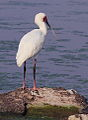 African Spoonbill, Platalea alba at Borakalalo National Park, South Africa (9856878143).jpg