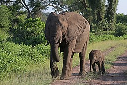 African bush elephants (Loxodonta africana) female with six-week-old baby