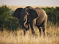 African elephant (21061038745).jpg