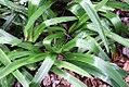 Agapanthus praecox orientalis Albus 0zz.jpg