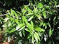 Agathis borneensis - feuilles.JPG