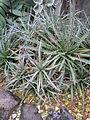 Agave parviflora 3.jpg