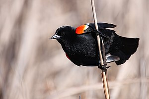 English: Red-winged Blackbird, Point Pelee Nat...