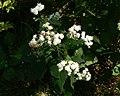 Ageratina altissima White snakeroot 8.27.2011.jpg