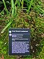 Ageratina luciae-brauniae in flower.jpg