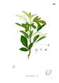 Aglaia odorata Blanco2.410.png