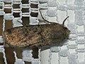 Agrotis segetum - Turnip moth - Совка озимая (41036639812).jpg