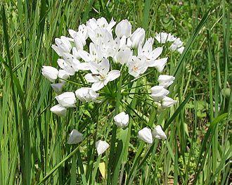 Allium neapolitanum - Allium neapolitanum