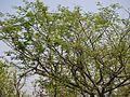 Albizia amara subsp. amara (5656890214).jpg