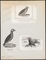 Alca cirrhata - 1700-1880 - Print - Iconographia Zoologica - Special Collections University of Amsterdam - UBA01 IZ17800149.tif