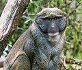 Allen's Swamp Monkey (35039622760).jpg