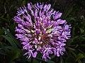 Allium aflatunense 2016-05-17 0734.jpg