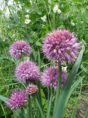 Allium carolinianum - Image: Allium carolinianum