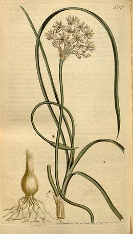 Allium stellatum Bot. Mag. 38.1576. 1813