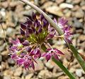 Allium tuolumnense 2.jpg
