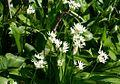 Allium ursinum ENBLA06.jpg