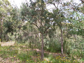 Description de l'image Allocasuarina distyla tree 1.jpg.