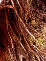 AlnusGlutinosaRacines internes aulnes.jpg