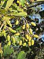 Alnus glutinosa-43p337N-3p000W-inmature fruits-20131107-155124.jpg