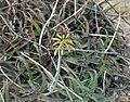 Aloe millotii.jpg