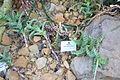 Aloe squarrosa (Aloe zanzibarica) - Botanischer Garten, Dresden, Germany - DSC08905.JPG