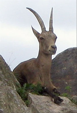 Alpensteinbock.jpg